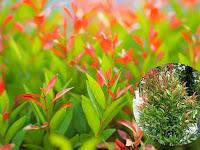 Tips Merawat Tanaman Pucuk Merah Agar Tumbuh Dengan Baik dan Indah