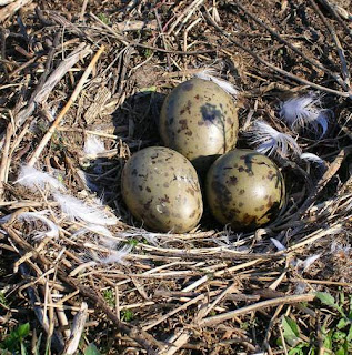 Larus canus eggs