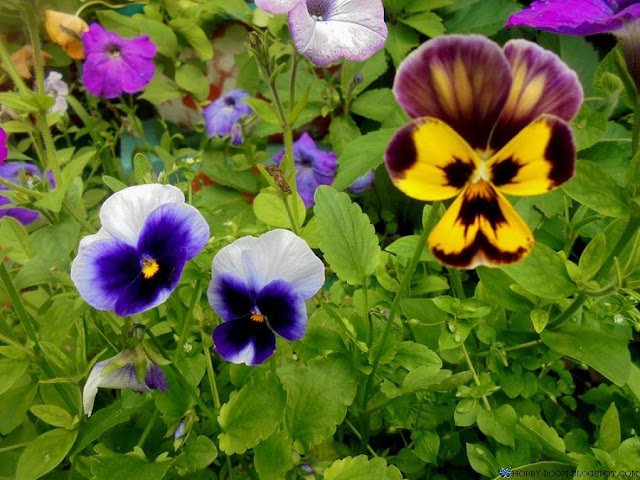 фиалки в саду