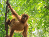 Orangutans - Species Whose Habitats are Endangered