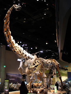 Reconstructed and restored skeletons of Tyrannosaurus rex harassing a Alamosaurus sanjuanensis. CC BY 2.0