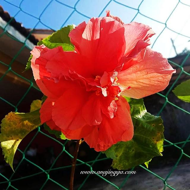 bunga raya oren berlapis