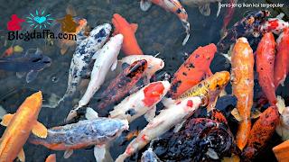 Jenis-jenis ikan koi yang paling populer di Indonesia