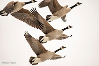 Canada Geese in flight – Vernon River, PEI – Feb. 2019 – © Roberta Palmer