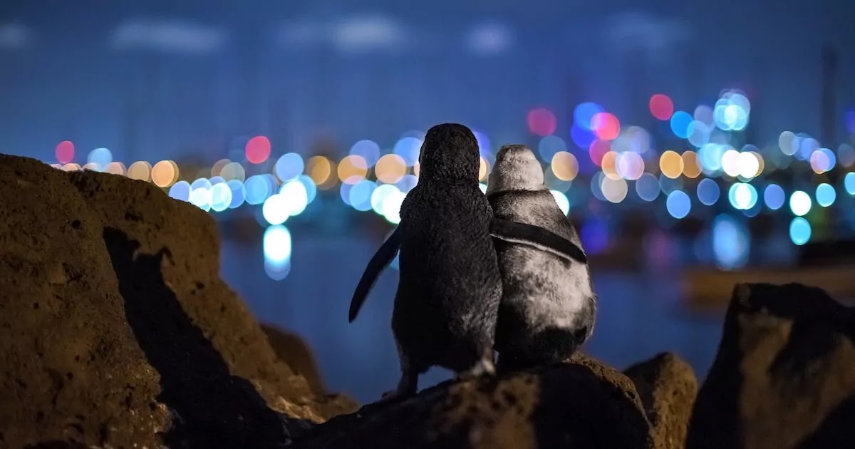Beautiful Photograph Of Two Widowed Penguins Comforting Each Other Wins Prize At 2020 Ocean Photography Awards