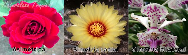Simetría en flores