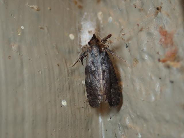 Phtheochroa sp