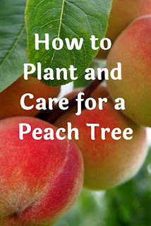 How to Plant and Care for a Peach Tree