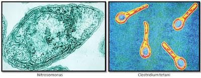 Contoh Bakteri Aerob dan Anaerob