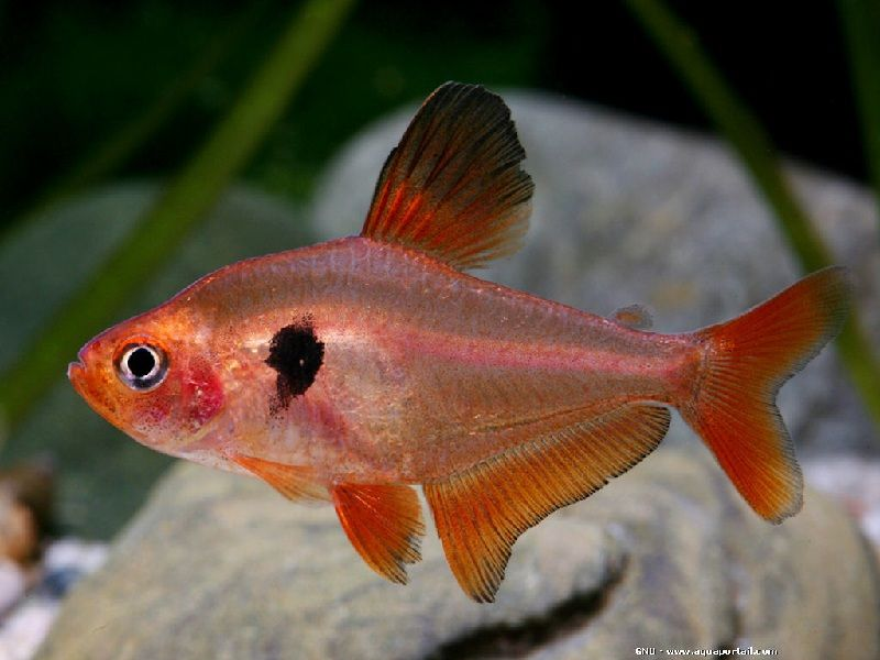 Gambar Ikan Hias Serpae Tetra