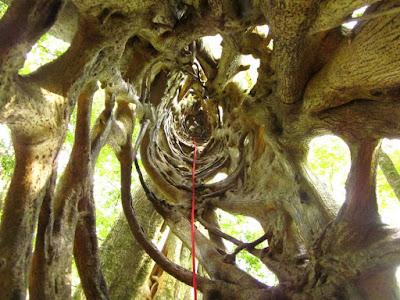 Ficus tree en Monteverde