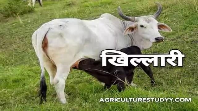 खिल्लारी नस्ल की गाय के बारे में पूरी जानकारी