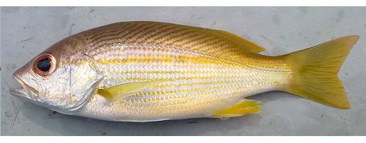 Mengenal Beberapa Jenis Keluarga Ikan Kakap Mengenal Beberapa Jenis Keluarga Ikan Kakap