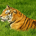 Man arrested after tiger seen on lawn