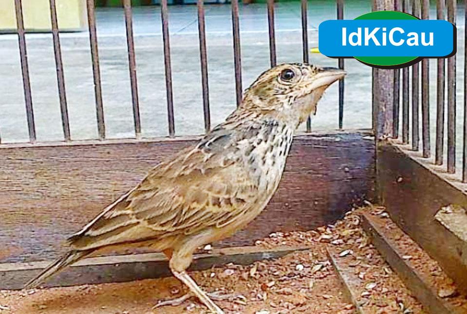 Kabar Terbaru Informasi Harga Burung Branjangan Terbaru 2019 Kabarterbaru Co