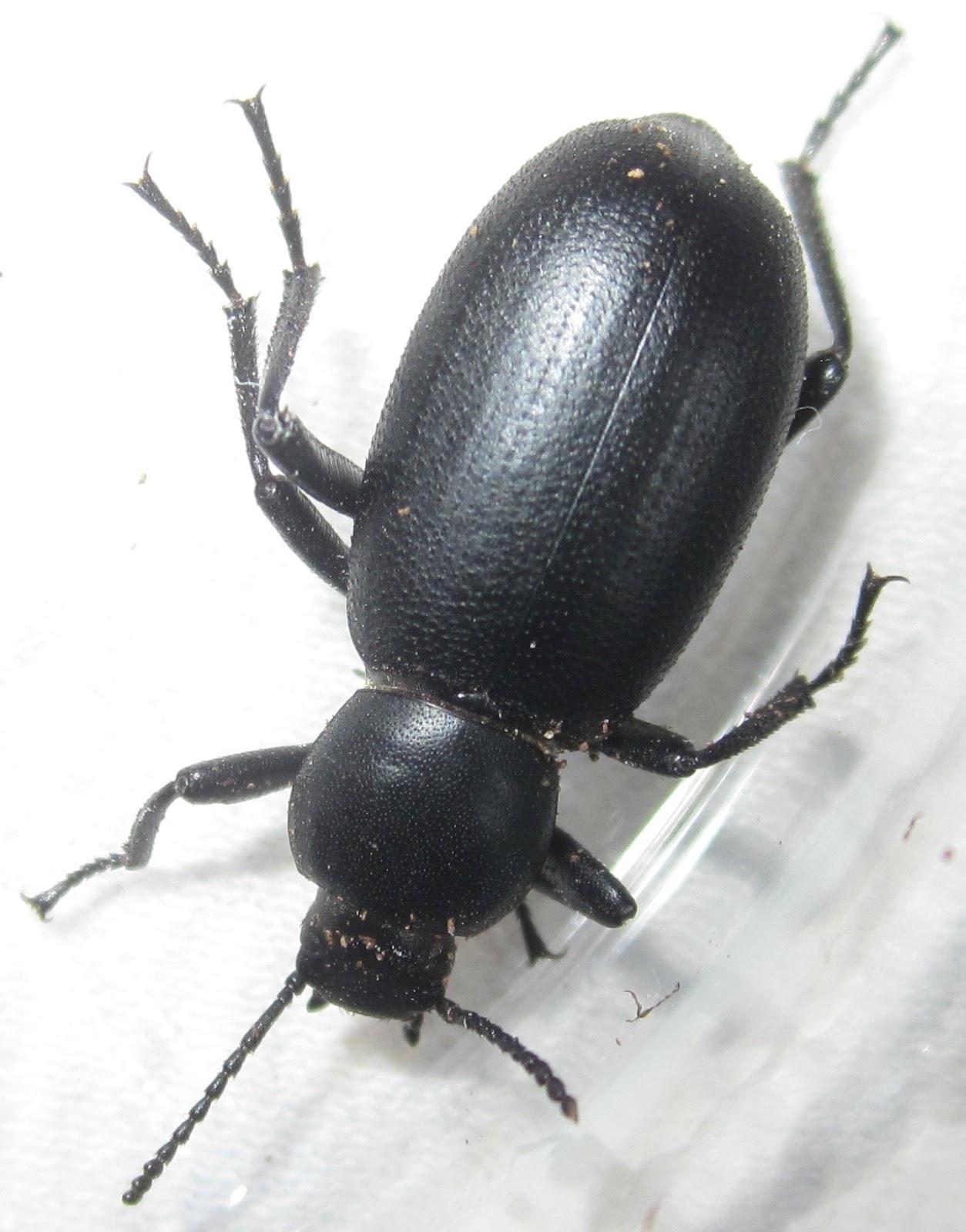 E.nigrina%252310.JPG