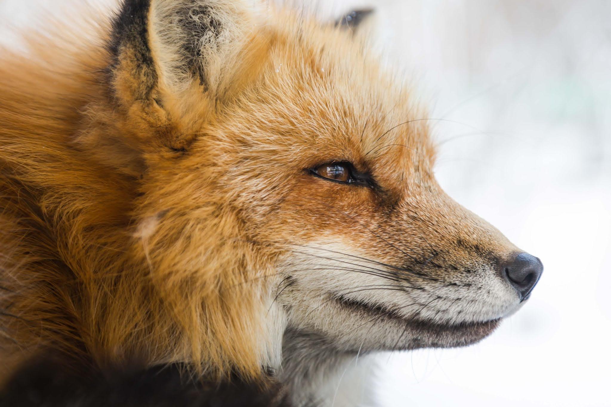 الثعلب من الحيوانات التي تصطاد باستخدام المجال المغناطيسي