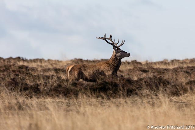 A stag in profile looking in a direction across the moor.
