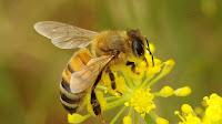 Η εξαφάνιση των μελισσών,o Αϊνστάιν και το τέλος του κόσμου