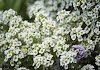 Steps on how to grow Sweet Alyssum in container