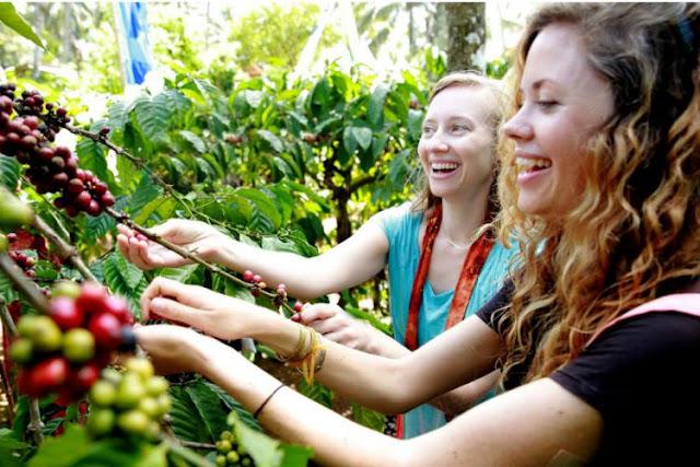 Wisatawan Asal Amerika Kunjungi Festival Petik Kopi Banyuwangi