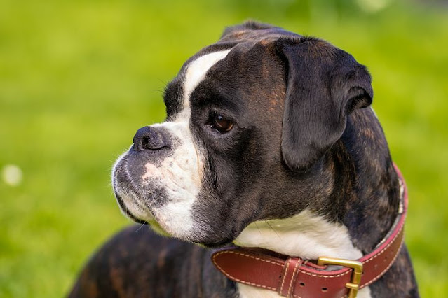 Information about German boxer dog most famous guard dog, price, training, health problems