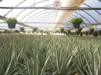Hydroponics Plants Aloe Vera