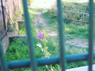 Purple flower through a gate