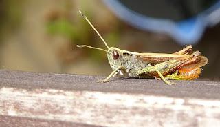 Grasshoppers ears