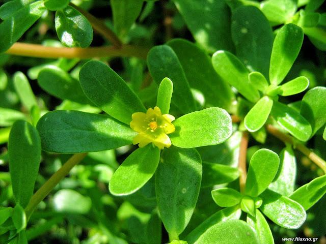 Τα καλοκαιρινά φαγώσιμα χόρτα: θεραπευτικές ιδιότητες-αντράκλα