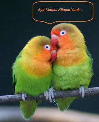 mengawinkan lovebird