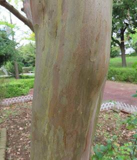 サルスベリの幹