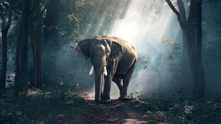 Forest Elephant Wallpaper