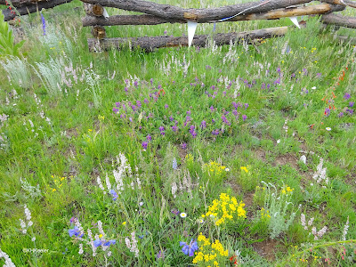 wildflower field, northern New Mexico