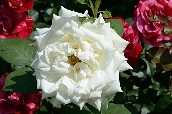 Polarstern сорт розы фото купить саженцы Минск питомник