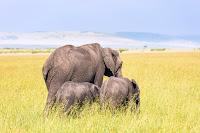 ears elephant