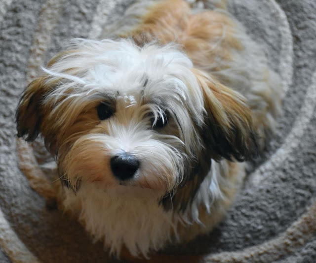 Most Popular Small Dog Breeds in India | Bestfacts.in
