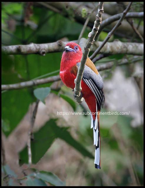 Red-headed trogon male