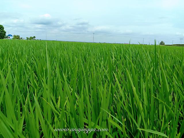 sawah padi sekinchan