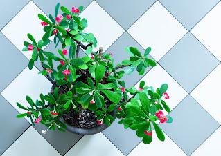 Tornekrone (Euphorbia milii)