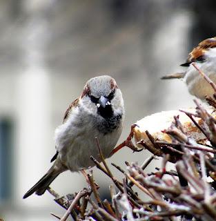 vrabii