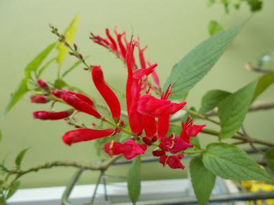 "Salvia elegans ""Scarlet Pineapple"" Plants indoors for winter Green Fingered Blog"