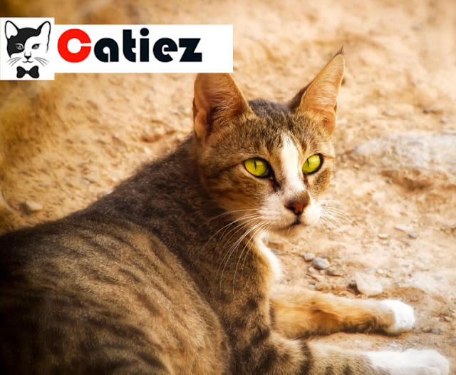Arabian Mau cat -all you want to know about Arabian Mau cats