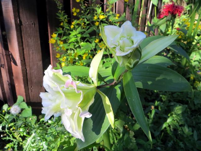 garden flower hosta