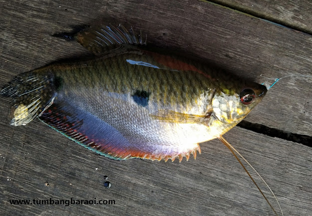 Habitat ikan sepat