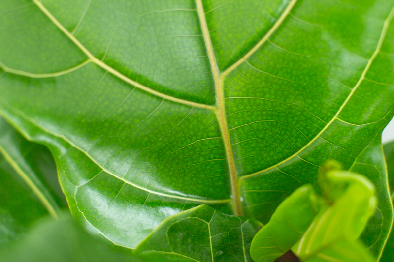 healthy fiddle leaf fig tree leaves