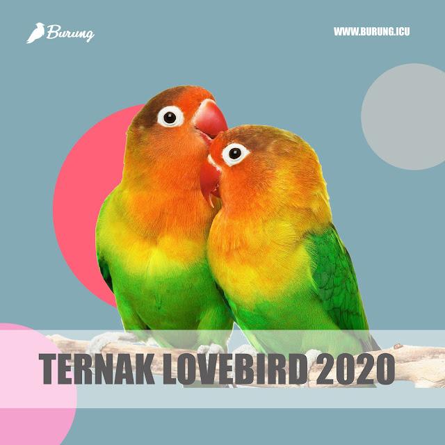Ternak lovebird 2020