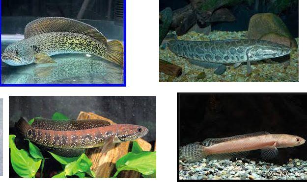 Jenis Ikan Gabus Air Tawar Berikut Nama Dan Gambarnya