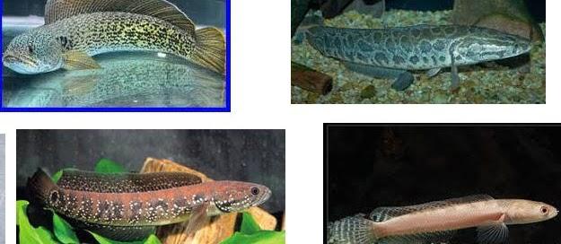 Jenis Ikan Gabus Air Tawar? Berikut Nama dan Gambarnya