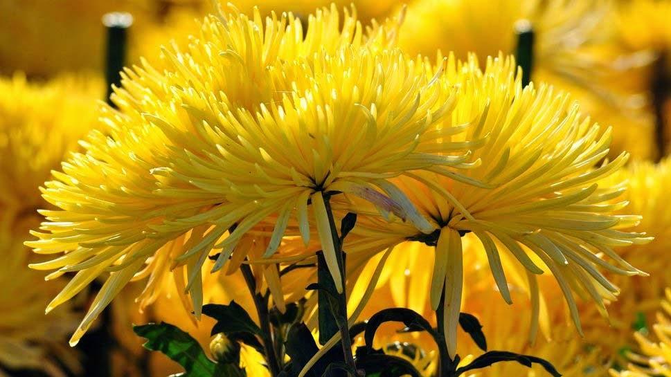 wallpapers-chrysanthemum-photos-beautiful-desktop